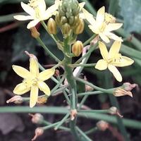 Bulbine z wymianowych nasion .