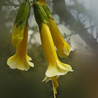 Cantua Baxifolia