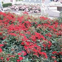 Cudowne róże okrywowe w OB w Muszynie .