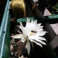 Echinopsis subdenudata i zapylacze
