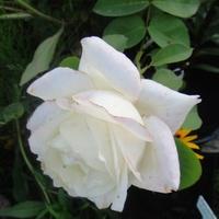 Fryderyk Chopin-piękny i pachnący