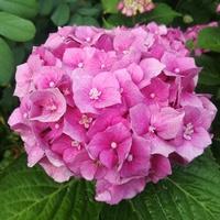 Hortensja ogrodowa różowa