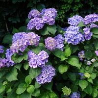 Hortensja ogrodowa.