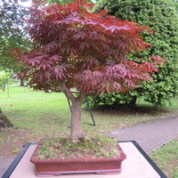 klon palmowy...bonsay