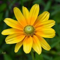 kwiat jasny jak słońce