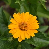 kwiatek pomarańczowy