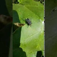 liść rabarbaru i gość