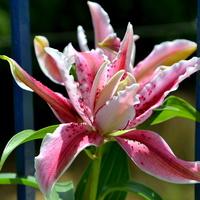 lilia orientalna pełna
