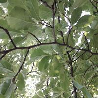 Magnoliowy baldachim .