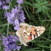Motylkowy profil z lawendą w tle .
