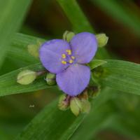 niebieski kwiat, tylko rano jest kolorowy