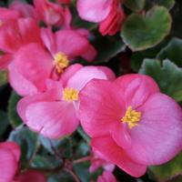 Niezawodna begonia semper flores .