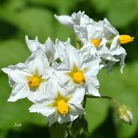 Psianka jaśminowa, kwiat w OB