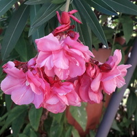 Oleander .....