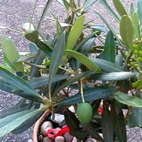 Oliwka europejska owoce na drzewku