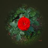 Ostatnia róża na Ziemi