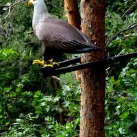 ptak bielik w lesie