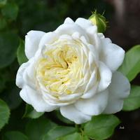 Róża dla Wszystkich Pań, które chętnie mi pomagają,