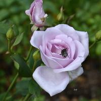 róża niebieskawa