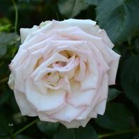 róża prawie biała