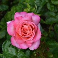 róża w mocnych kolorach