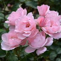 róża w różowym kolorze