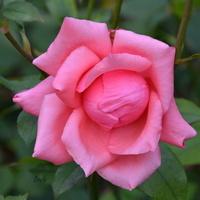 róża w ładnym kolorze