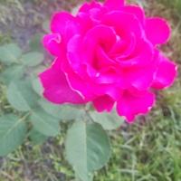 Róża.........