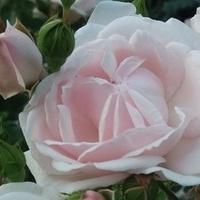 Różane piękno