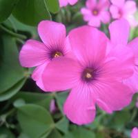 szczawik różowy
