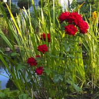 Tataraki i róże