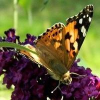 Wróciły motyle:)