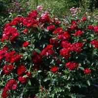 wspaniałe róże czerwone