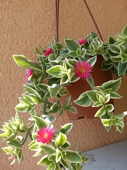 Aptenia densiflora