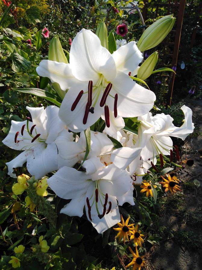 Biały liliowy bukiet...