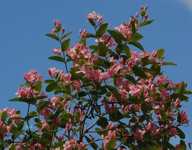krzew kwitnący