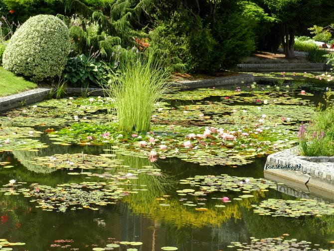 Lilie wodne -Ogród Botaniczny we Wrocławiu