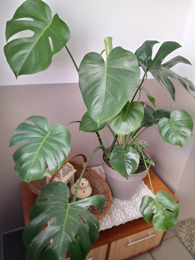 Moja monstera