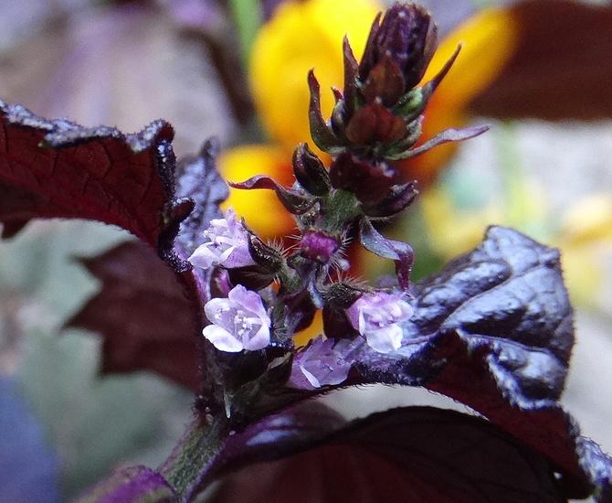 Najmniejsze kwiatuszki. . . . . Pachnotka