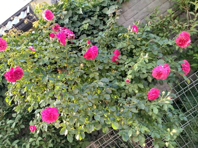 Najstarszy krzew róży
