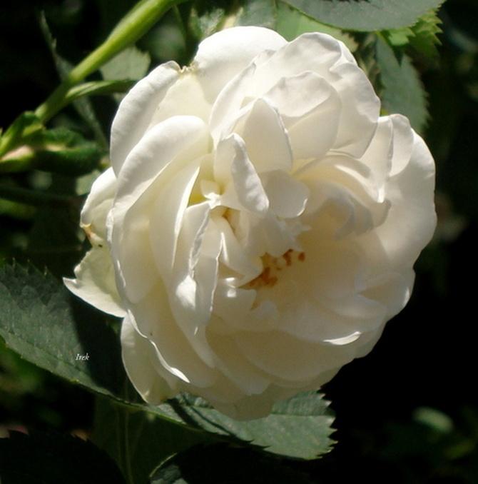 Niedzielna róża biała