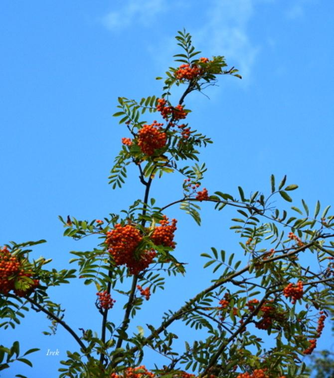 Owoce jarząbu