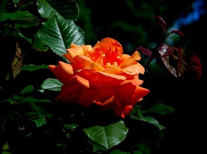 róża czerwona