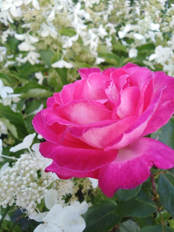 Róża i hortensje..