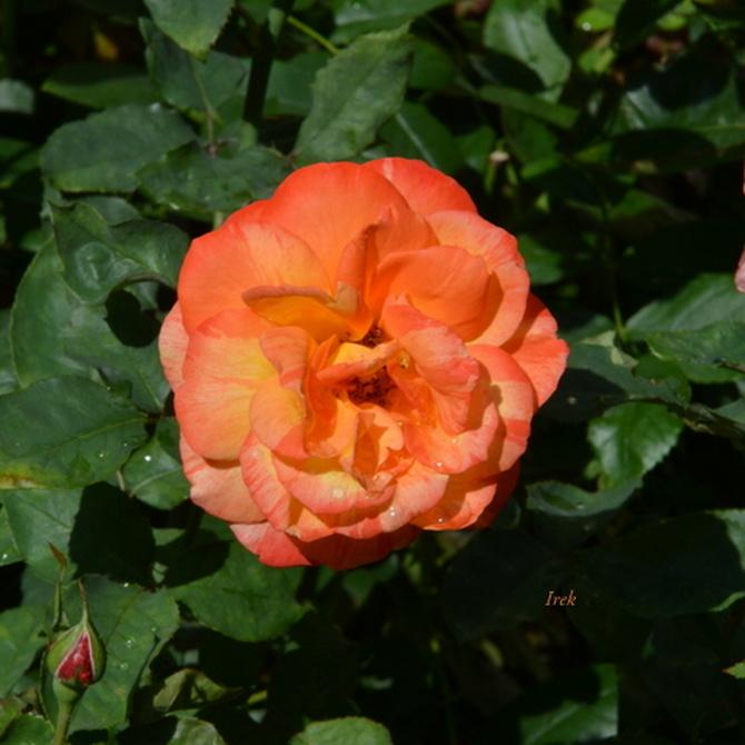 róża osiedlowa