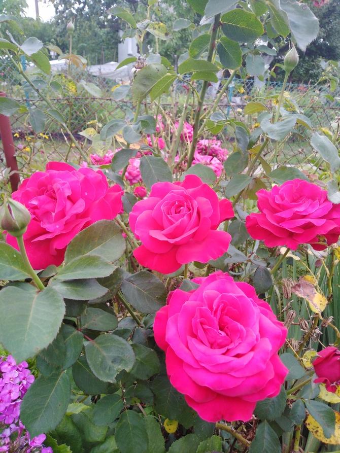 Róze w bukiecie....
