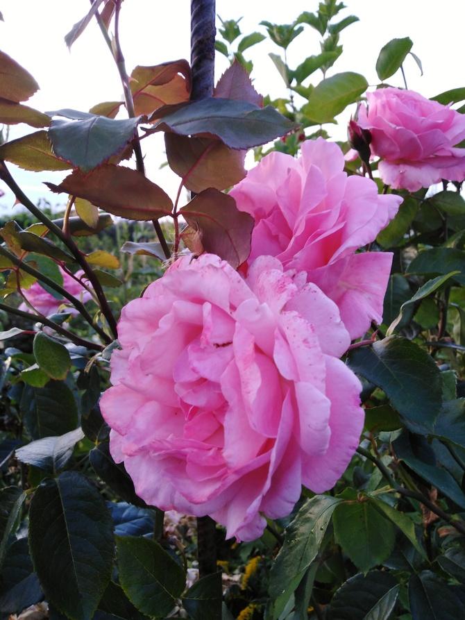 Teraz różowy różany bukiet...