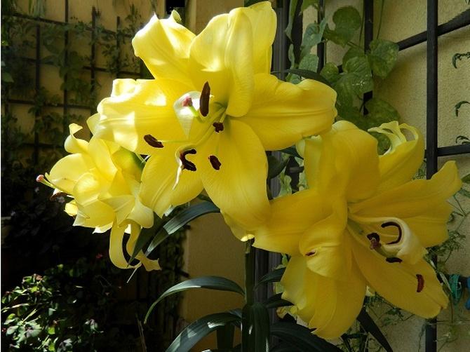 Wyjątkowo duże kwiaty...