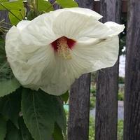 Biały hibiskus ......