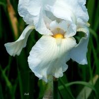 biały irys